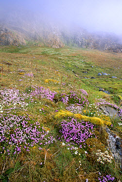 Moss Campion (Silene acaulis) blooming on tundra fertilized by seabird nesting cliff run-off, Kross Fjord, Spitsbergen Island, Svalbard, Norwegian Arctic  -  Tui De Roy