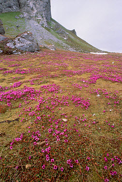 Purple Saxifrage (Saxifraga oppositifolia) blooming on tundra fertilized by seabird nesting cliff run-off, Hornsund, Spitsbergen, Svalbard, Norwegian Arctic  -  Tui De Roy