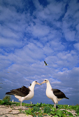 Laysan Albatross (Phoebastria immutabilis) pair courting, Midway Atoll, Hawaii  -  Tui De Roy