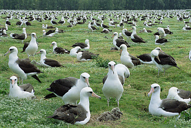 Laysan Albatross (Phoebastria immutabilis) nesting colony, Midway Atoll, Hawaii  -  Tui De Roy