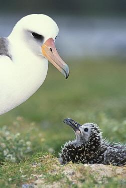 Laysan Albatross (Phoebastria immutabilis) parent guarding young chick, Midway Atoll, Hawaii  -  Tui De Roy