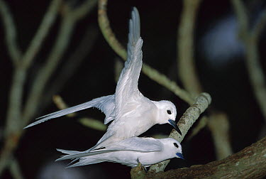 White Tern (Gygis alba) pair mating, Midway Atoll, Hawaii  -  Tui De Roy
