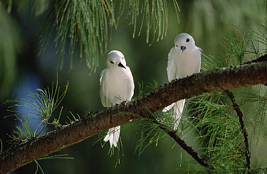 White Tern (Gygis alba) pair establishing egg-laying site on bare branch of Casuarina tree, Midway Atoll, Hawaii  -  Tui De Roy