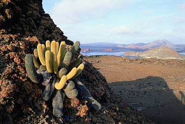 Lava Cactus (Brachycereus nesioticus) endemic pioneering species growing only on young lava flows, Bartolome Island, Galapagos Islands, Ecuador  -  Tui De Roy