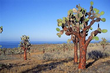 Opuntia (Opuntia echios) cactus forest, Santa Fe Island, Galapagos Islands, Ecuador  -  Tui De Roy