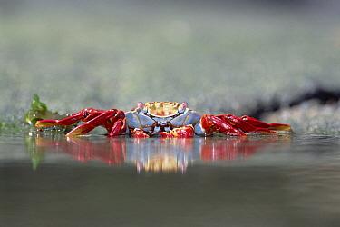 Sally Lightfoot Crab (Grapsus grapsus) feeding along tide pool edge, Punta Espinosa, Fernandina Island, Galapagos Islands, Ecuador  -  Tui De Roy