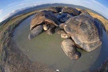 Volcan Alcedo Giant Tortoise (Chelonoidis nigra vandenburghi) wallowing in temporary rainy season pool, Alcedo Volcano, Isabella Island, Galapagos Islands, Ecuador  -  Tui De Roy