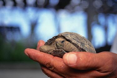 Galapagos Giant Tortoise (Chelonoidis nigra) hatchlings checked on by park warden, Galapagos Islands, Ecuador Giant Tortoise at Charles Darwin Research Station, Galapagos Islands, Ecuador  -  Tui De Roy