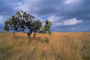 Cerrado habitat, fire resistant savannah scrubland, prone to burning from lightning strikes, Serra de Canastra National Park, Brazil  -  Tui De Roy