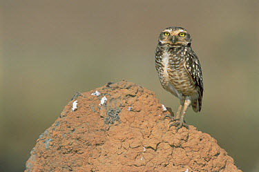 Burrowing Owl (Athene cunicularia) perched on termite mound in typical Cerrado habitat, Emas National Park, Brazil  -  Tui De Roy