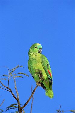 Blue-fronted Parrot (Amazona aestiva) in treetops, Cerrado habitat, Emas National Park, Brazil  -  Tui De Roy