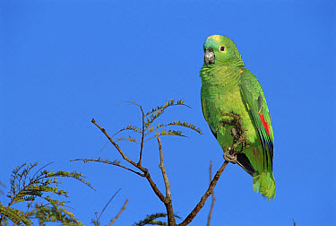 Blue-fronted Parrot (Amazona aestiva) amongst treetops in Cerrado habitat, Emas National Park, Brazil  -  Tui De Roy
