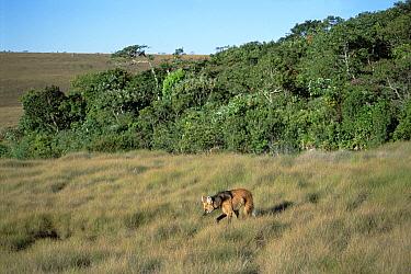 Maned Wolf (Chrysocyon brachyurus) patrolling huge territory in Cerrado grassland habitat, Serra de Canastra National Park, Brazil  -  Tui De Roy