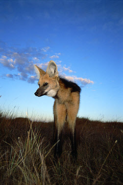 Maned Wolf (Chrysocyon brachyurus) mainly nocturnal, setting out to hunt at dusk, Serra de Canastra National Park, Brazil  -  Tui De Roy