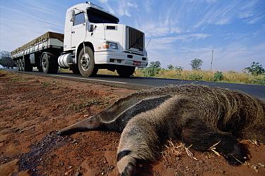 Giant Anteater (Myrmecophaga tridactyla) road-kill victim due to traffic in expanding agricultural development in dry Cerrado grassland habitat, Brazil  -  Tui De Roy