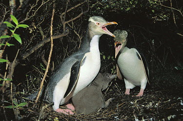 Yellow-eyed Penguin (Megadyptes antipodes) pair greeting each other near nest site in dense understory, Enderby Island, Auckland Group, New Zealand  -  Tui De Roy
