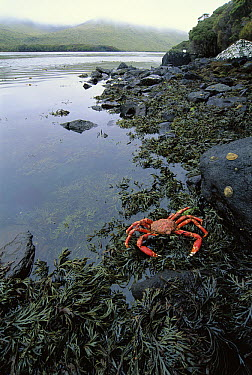 Auckland Island Spider Crab in seaweed bed, Laurie Harbor, Port Ross, Auckland Island, New Zealand  -  Tui De Roy