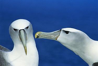 White-capped Albatross (Thalassarche steadi) couple courting, Southwest Cape, Auckland Island, New Zealand  -  Tui De Roy