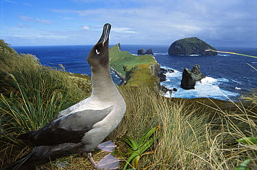 Light-mantled Albatross (Phoebetria palpebrata) emitting sky-pointing courtship call, Monument Harbor, Campbell Island, New Zealand  -  Tui De Roy