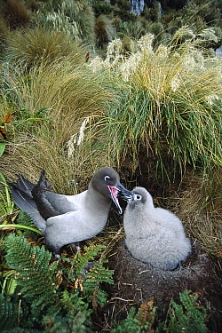 Light-mantled Albatross (Phoebetria palpebrata) chick being fed by parent after lengthy feeding journey, Monument Harbor, Campbell Island, New Zealand  -  Tui De Roy