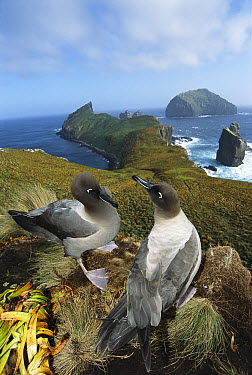 Light-mantled Albatross (Phoebetria palpebrata) pair courting on bluffs overlooking weather-beaten south coast, Monument Harbor, Campbell Island, New Zealand  -  Tui De Roy