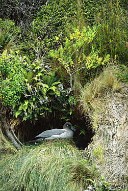 Light-mantled Albatross (Phoebetria palpebrata) on typical cliff-side nest, Dea's Head, Port Ross, Auckland Island, New Zealand  -  Tui De Roy