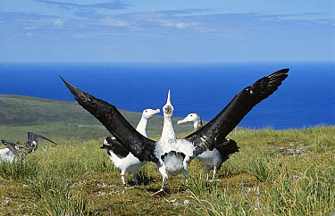 Antipodean Albatross (Diomedea antipodensis) courtship display often pirouetting with outstretched wings, Adams Island, Auckland's Group, New Zealand  -  Tui De Roy