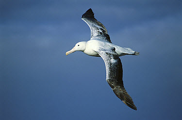 Southern Royal Albatross (Diomedea epomophora) flying, up to 35 meter wingspan, Campbell Island, New Zealand  -  Tui De Roy