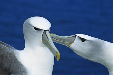 White-capped Albatross (Thalassarche steadi) pair courting, Southwest Cape, Auckland Island, New Zealand  -  Tui De Roy