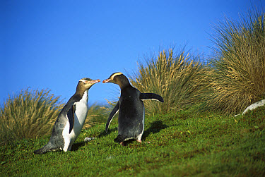 Yellow-eyed Penguin (Megadyptes antipodes) pair commuting to nest hidden inland in dense vegetation, Sandy Bay, Enderby Island, Auckland Islands, New Zealand  -  Tui De Roy