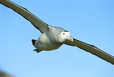 Antipodean Albatross (Diomedea antipodensis) flying, Adams Island, Auckland's Group, New Zealand  -  Tui De Roy