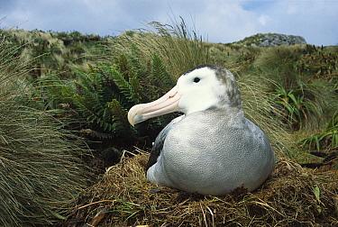 Antipodean Albatross (Diomedea antipodensis) incubating on nest, Moubrey Ridge, Campbell Island, New Zealand  -  Tui De Roy