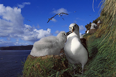 Grey-headed Albatross (Thalassarche chrysostoma) chick begging for food from parent, Bull Rock, North Cape Colony, Campbell Island, New Zealand  -  Tui De Roy