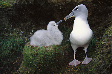 Grey-headed Albatross (Thalassarche chrysostoma) returning parent greeting chick, Bull Rock, North Cape Colony, Campbell Island, New Zealand  -  Tui De Roy