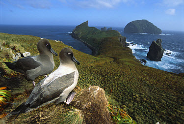 Light-mantled Albatross (Phoebetria palpebrata) pair courting on bluffs over-looking weather-beaten south coast, Monument Harbour, Campbell Island, New Zealand  -  Tui De Roy