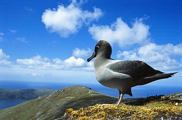 Light-mantled Albatross (Phoebetria palpebrata) prospecting for nest site, 558 meters high, Mt Honey, Campbell Island, New Zealand  -  Tui De Roy