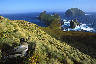 Light-mantled Albatross (Phoebetria palpebrata) on nesting bluffs overlooking weather-beaten south coast, Monument Harbour, Campbell Island, New Zealand  -  Tui De Roy