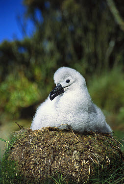 Campbell Albatross (Thalassarche impavida) portrait of two month old chick awaiting parent's feeding, Bull Rock, North Cape Colony, Campbell Island, New Zealand  -  Tui De Roy