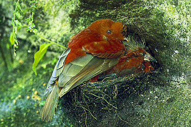 Andean Cock-of-the-rock (Rupicola peruvianus) female and chicks in nest on ravine wall, Pichincha Volcano slope, Choco Darien cloud forest, Andes Mountains, Ecuador  -  Tui De Roy