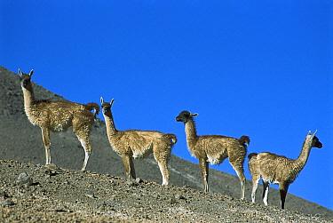 Guanaco (Lama guanicoe) family herd in Andean pre-cordillera, Atacama Desert, Chile  -  Tui De Roy
