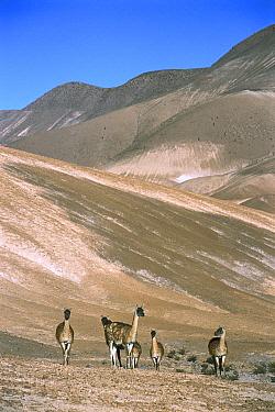 Guanaco (Lama guanicoe) family herd in Andean pre-cordillera, austral spring, Atacama Desert, Chile  -  Tui De Roy