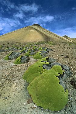 Yareta (Azorella compacta) cold-resistant cushion plant growing in volcanic terrain at 5, 000 meters, Cerro Villanunumani, Lauca National Park, Andes Mountains, Chile  -  Tui De Roy