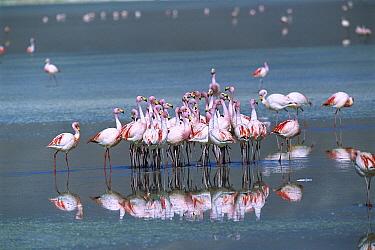 Puna Flamingo (Phoenicopterus jamesi) rare, flock performing coordinated courtship dance in Laguna Colorada, Andean altiplano above 4000 meters elevation, Bolivia  -  Tui De Roy