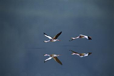 Puna Flamingo (Phoenicopterus jamesi) rare, pair flying over saline lake tinted red from algae, Andean altiplano above 4000 meters elevation, Laguna Colorada, Bolivia  -  Tui De Roy