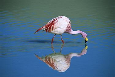 Puna Flamingo (Phoenicopterus jamesi) rare, feeding in Laguna Colorada, highly adapted to feed on microscopic diatoms, Andean altiplano above 4,000 meters elevation, Bolivia  -  Tui De Roy