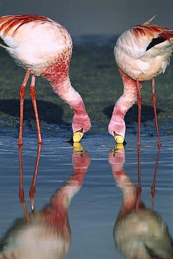 Puna Flamingo (Phoenicopterus jamesi) rare, pair feeding in Laguna Colorada, highly adapted to feed on microscopic diatoms, Andean altiplano above 4,000 meters elevation, Bolivia  -  Tui De Roy