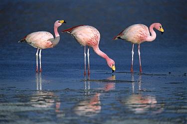 Puna Flamingo (Phoenicopterus jamesi) rare, three drinking from freshwater springs along lake edge, Laguna Colorada, Andean altiplano above 4,000 meters elevation, Bolivia  -  Tui De Roy