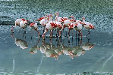 Puna Flamingo (Phoenicopterus jamesi) rare, flock feeding on diatoms that add red tint to saline lake, Laguna Colorada, Andean altiplano above 4,000 meters Elevation, Bolivia  -  Tui De Roy