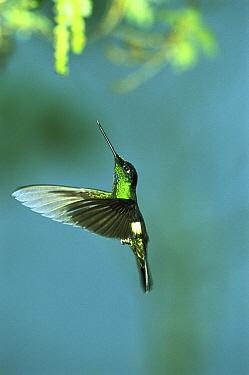 Buff-winged Starfrontlet (Coeligena lutetiae) hummingbird flying in cloud forest, west slope, Pichincha Volcano, over 3, 000 meters elevation, Choco Darien region, Andes Mountains, Ecuador  -  Tui De Roy