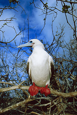 Red-footed Booby (Sula sula) white morph represents only five percent of the Galapagos population but is reverse elsewhere, Genovesa Tower Island, Galapagos Islands, Ecuador  -  Tui De Roy